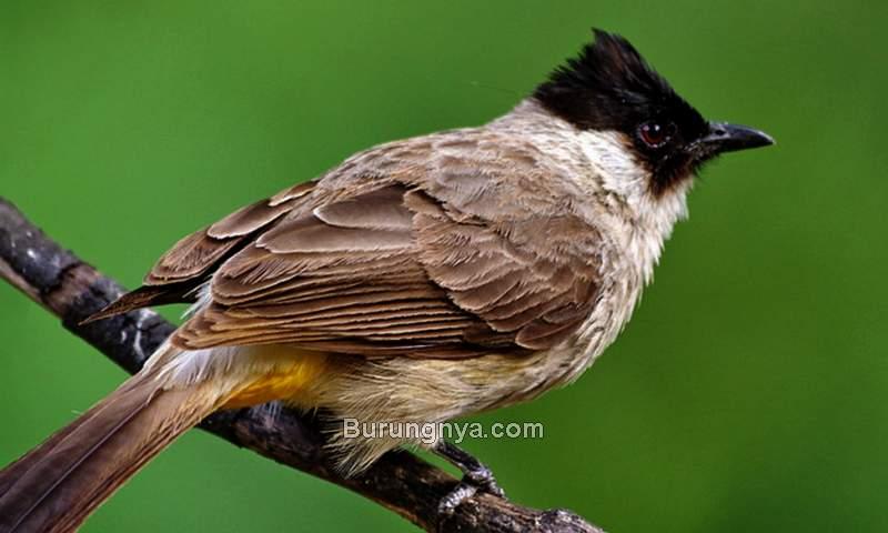 Suara Burung Kutilang Kurang Bagus untuk Masteran (hewanbinatang.com)