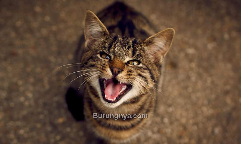 Suara Kucing Mengeong (lovetoknow.com)