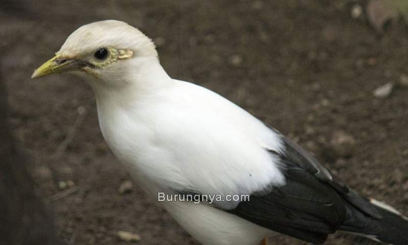 Burung Jalak Putih Betina (zoochat.com)