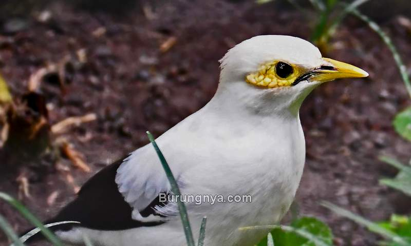 Burung Jalak Putih Jantan (zoochat.com)