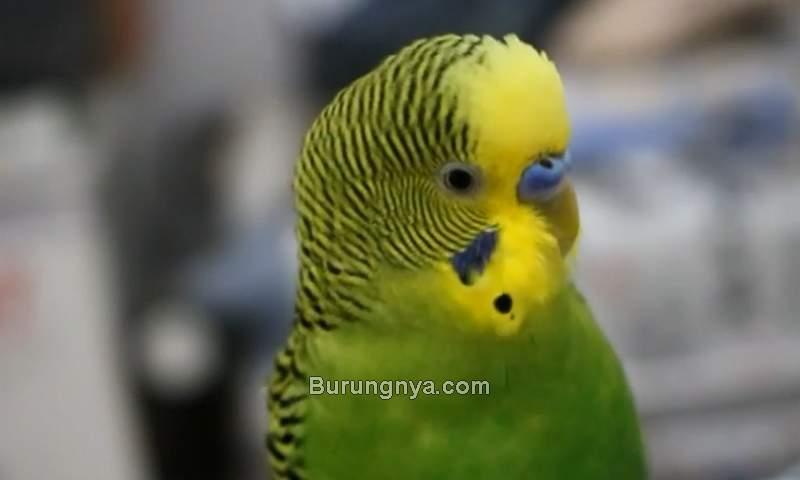 Burung Parkit Bisa Ngomong (youtube.com)