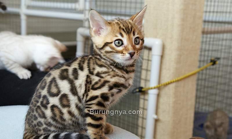 Cara Membeli Kucing Import (bengalcatworld.com)
