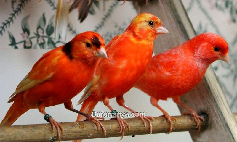 Cara Memelihara Burung Kenari (pinterest.com)