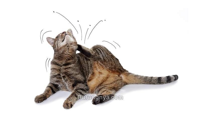 Cara Menghilang Kutu Kucing Paling Mudah dan Cepat (vetexplainspets.com)