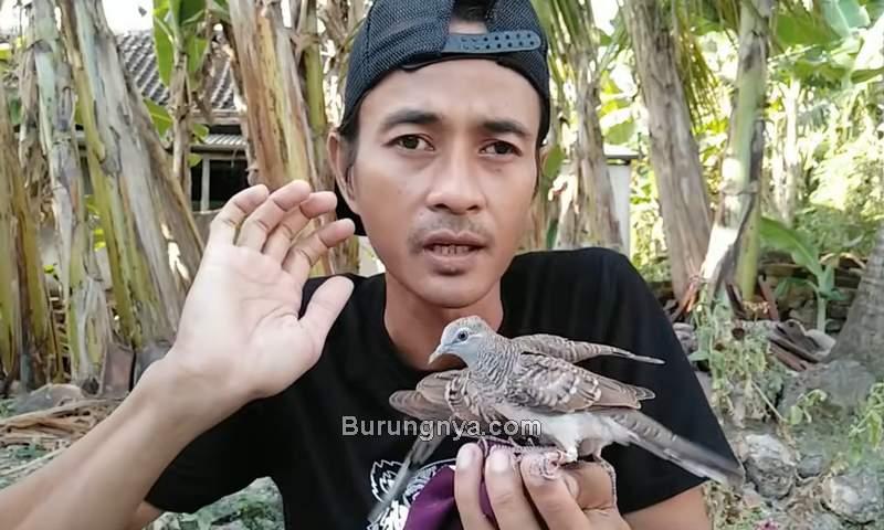 Cara Menjinakkan Burung Perkutut Lokal di Alam (youtube.com)