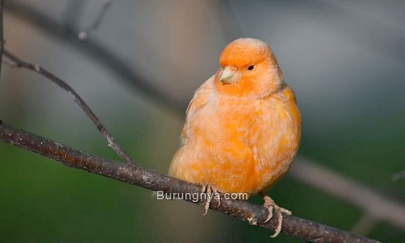 Cara Merawat Burung Kenari yang Paling Penting (wallpaperflare.com)