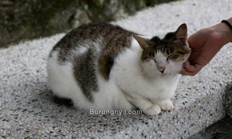 Cara Merawat Kucing Kampung (blueandgoldonline.org)