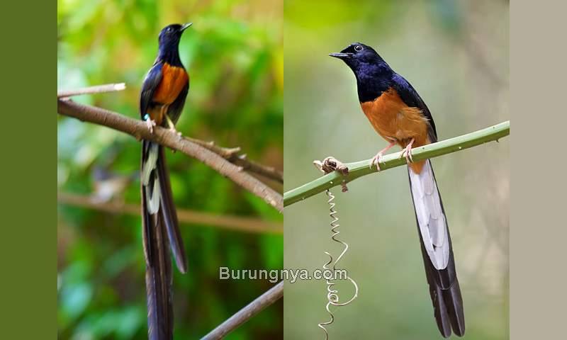 Ciri Murai Batu Medan Asli (davidsbirds.blogspot.com)