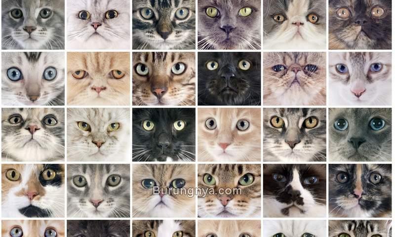 Jenis Kucing Peliharaan Populer (scotsman.com)
