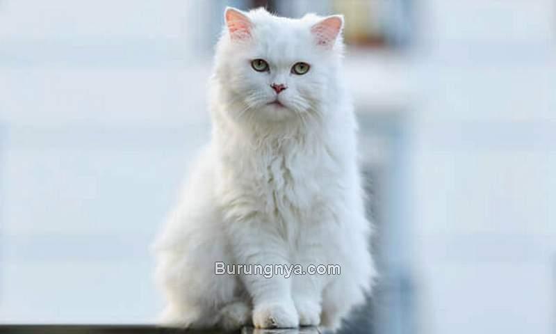 Kucing Anggora (petvblog.com)