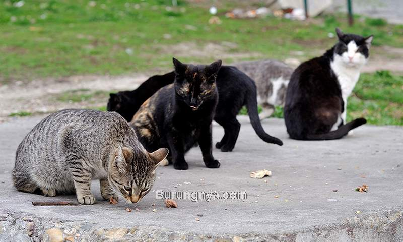 Kucing Kampung (halodoc.com)