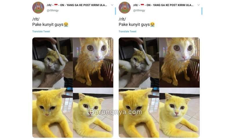 Kucing Kuning karena Kunyit (twitter.com)