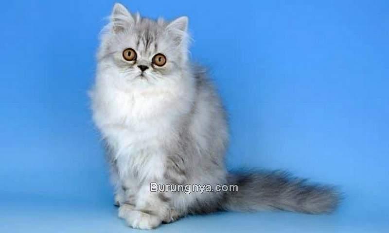 Kucing Persia (loperonline.com)