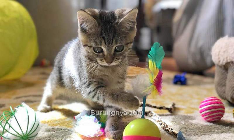 Mainan Kucing yang Bagus (figopetinsurance.com)