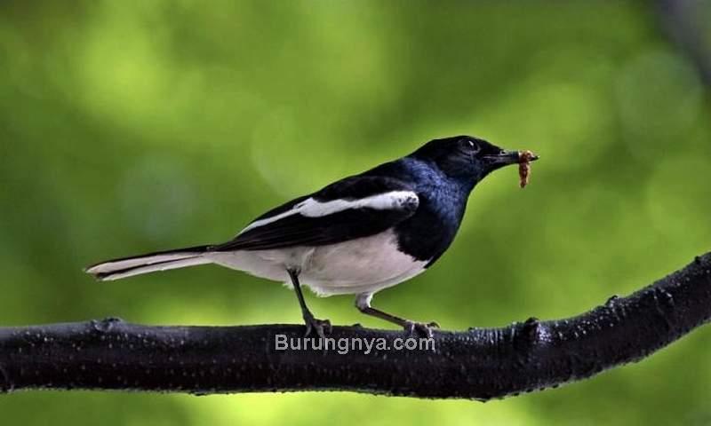 Makanan Burung Kacer yang Bagus (howyoudoin.wordpress.com)