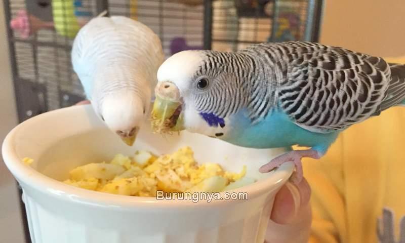 Makanan Burung Parkit biar Cepat Bertelur (homekeethome.com)