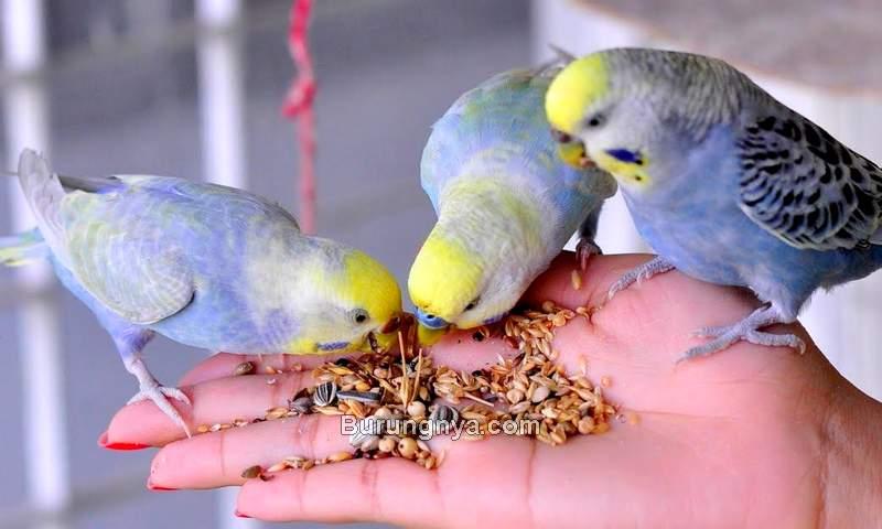 Makanan Burung Parkit yang Sehat Agar Cepat Bertelur (pinterest.com)