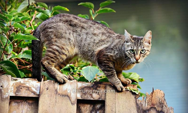 Perawatan Kucing Kampung (tourscanner.com)