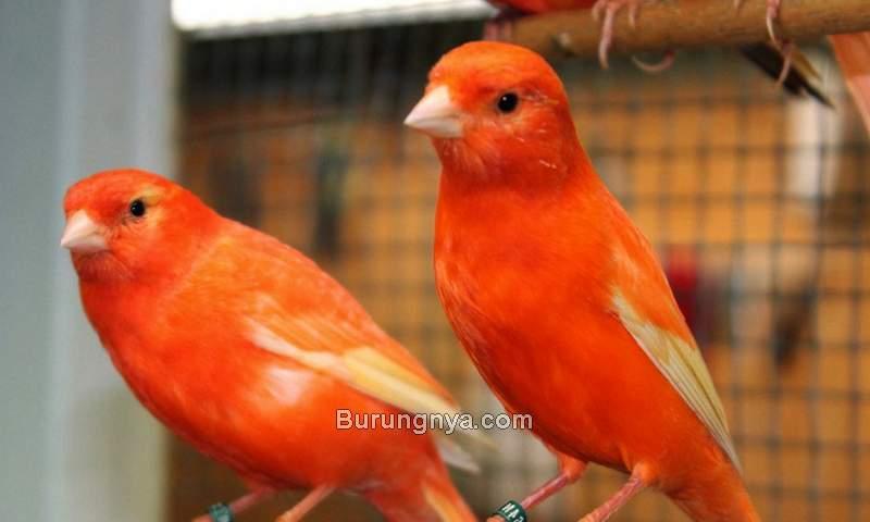Tips Memelihara Burung Kenari yang Baik dan Benar (singing-wings-aviary.com)