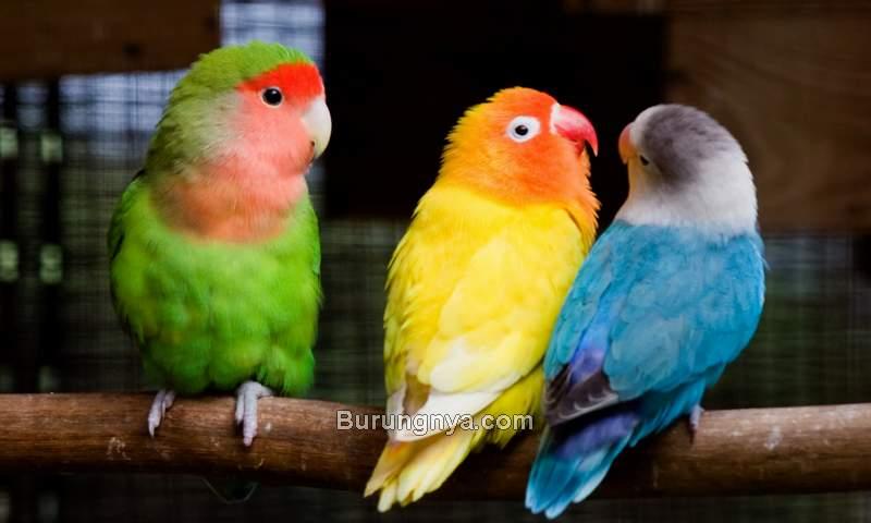 Warna Lovebird yang Bagus dan Mahal (floridabirdbreeders.com)