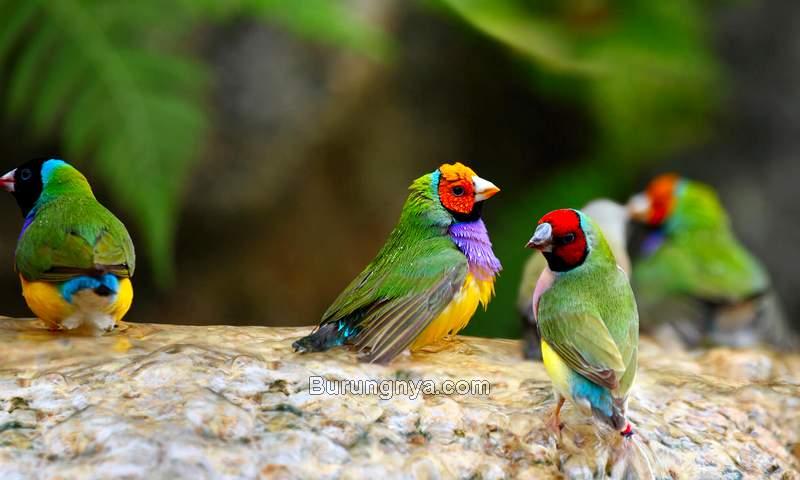 Bisnis Ternak Burung Pipit Pelangi (sandiegozoo.org)
