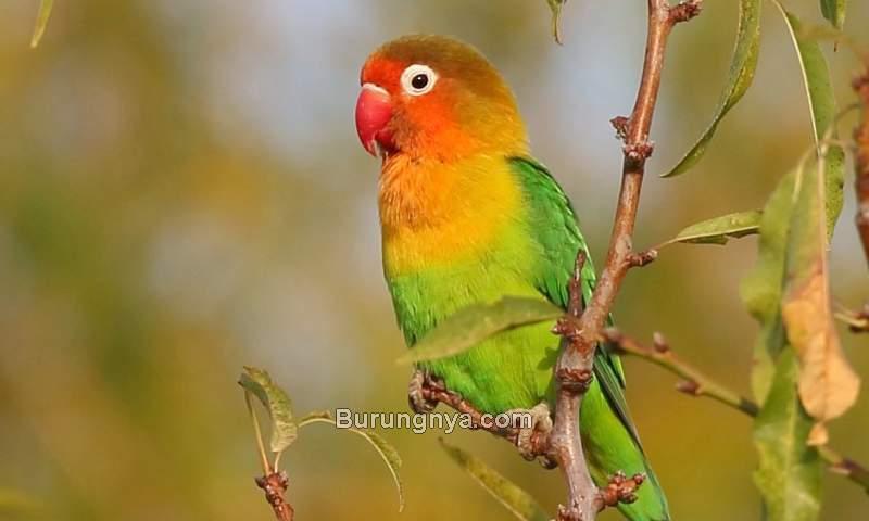 Cara Membuat Burung Lovebird Gacor dan Ngekek Panjang (ebird.org)