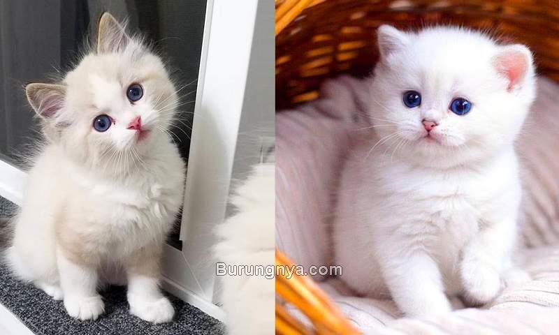 Harga Kucing Anggora Kecil Dewasa 2021 (youtube.com)