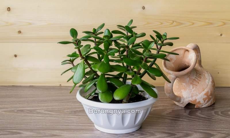 Jade Plant Berbahaya untuk Kucing (hgtv.com)