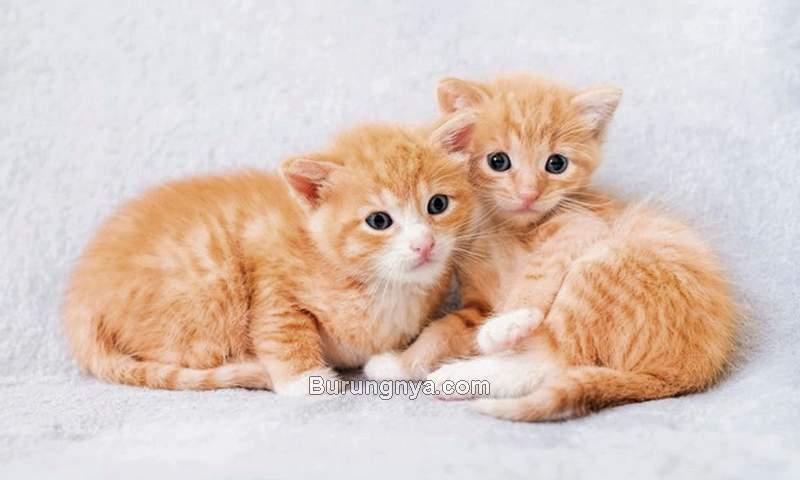 Jenis Kelamin Anak Kucing (freepik.com)
