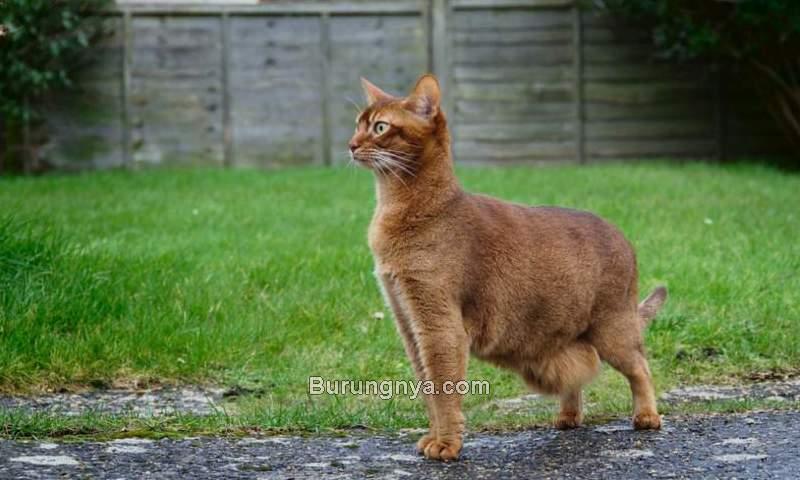 Kucing Kurus tapi Perut Buncit (aminoapps.com)
