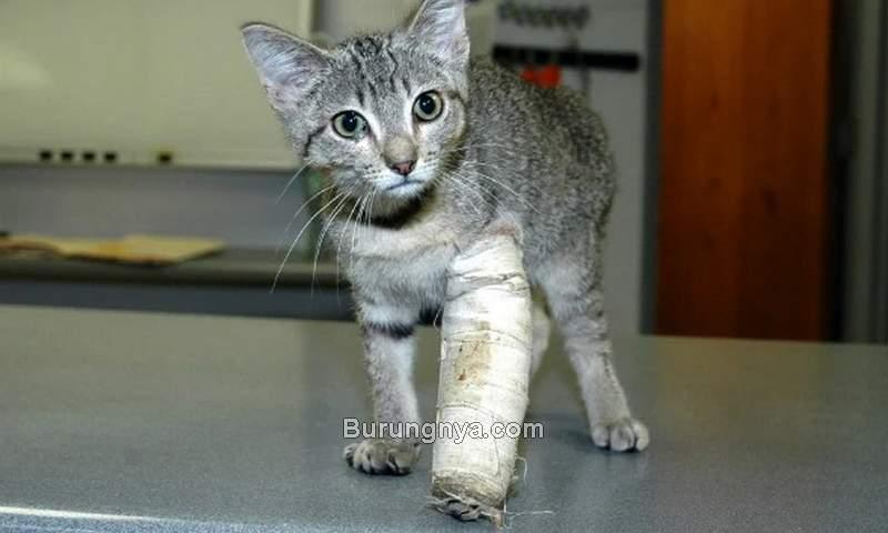 Kucing Patah Tulang Kaki (petmd.com)