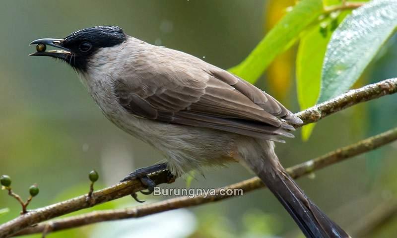 Makanan Burung Kutilang Gacor (ebird.org)