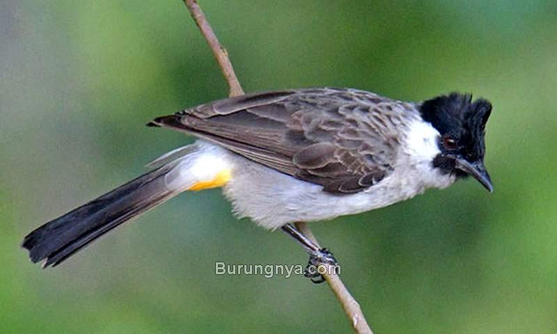 Makanan Burung Kutilang (birds.watch)