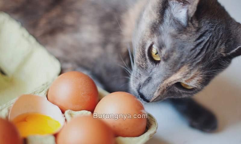 Manfaat Kuning Telur Ayam untuk Kucing (pumpkin.care)