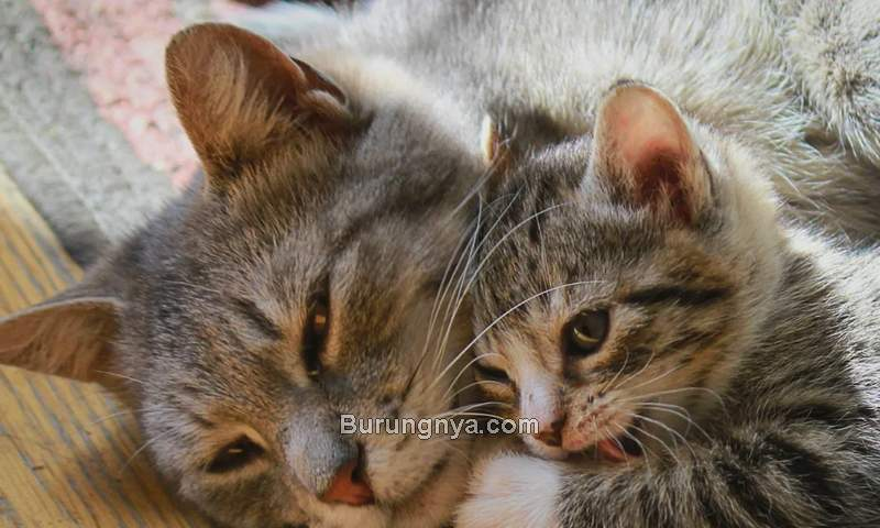Memisahkan Anak Kucing dengan Induknya untuk Diadopsi (chewy.com)