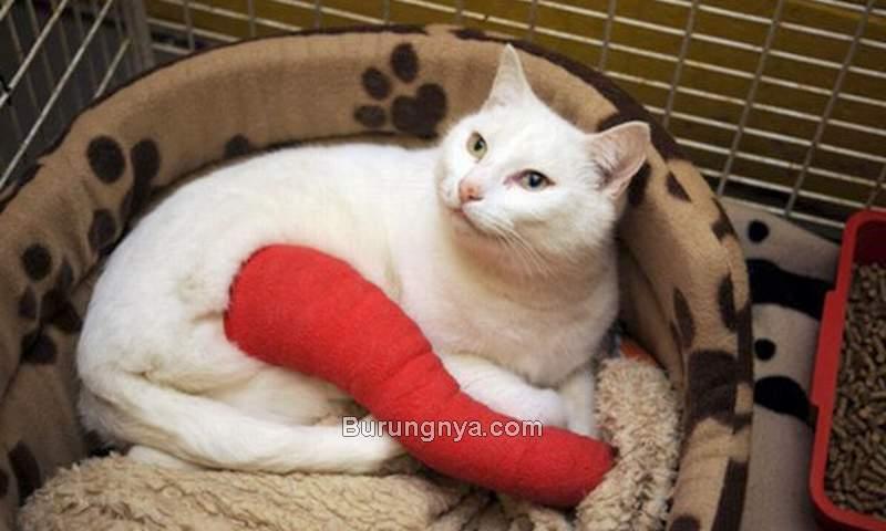Tips Mengatasi Kucing Patah Tulang Kaki (coventrytelegraph.net)