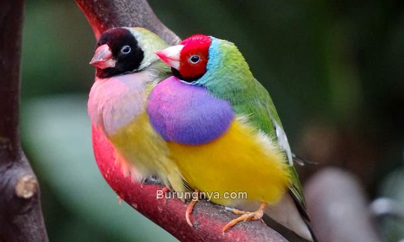Usaha Ternak Burung Pipit Pelangi (flickr.com)