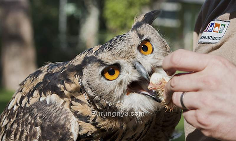Cara Beri Makan Burung Hantu Untuk Pemula (s-tlk.org)