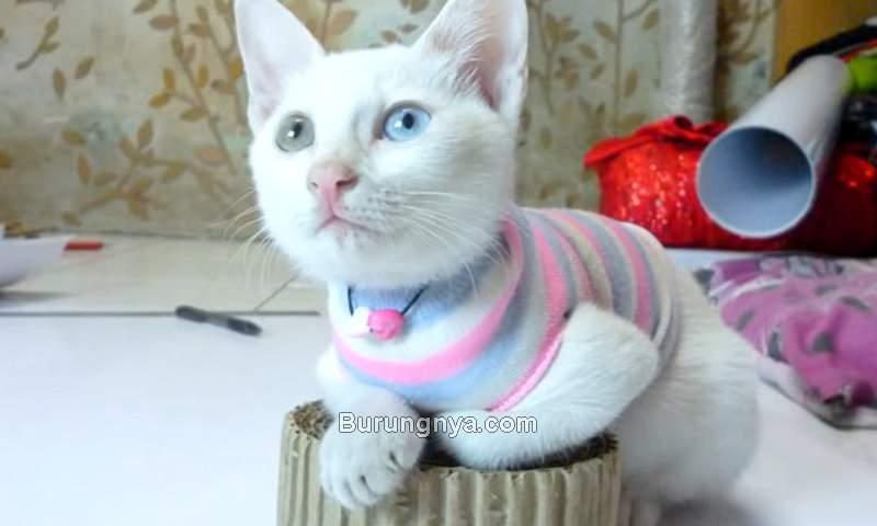 Cara Buat Baju Kucing dari Kaos Kaki (youtube.com)
