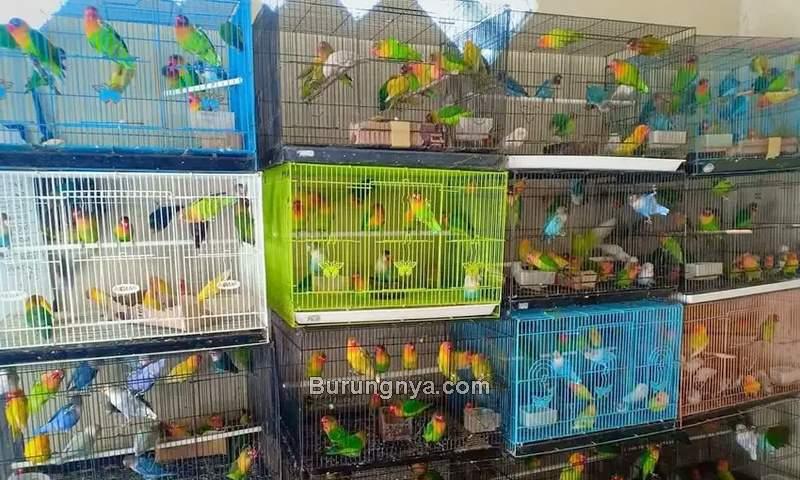 Harga Jenis Lovebird Termurah (olx.co.id)