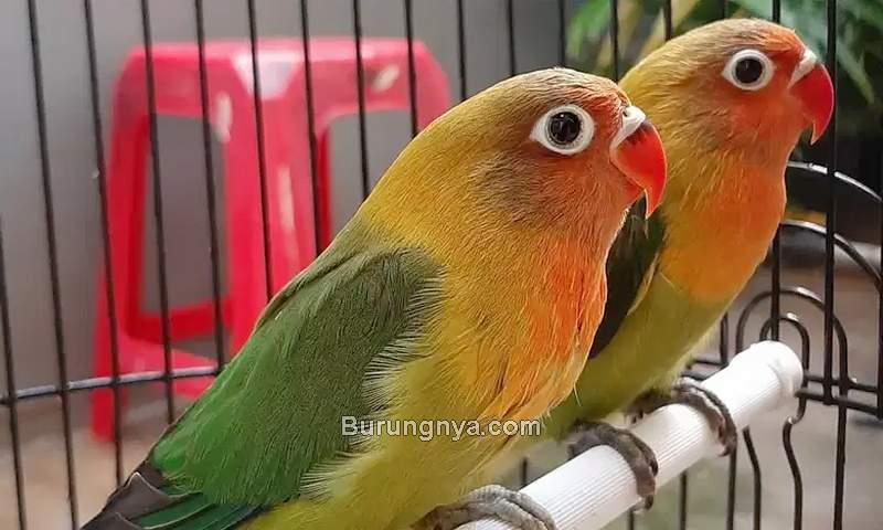 Harga Lovebird Ijo Standar Josan Termurah (olx.co.id)