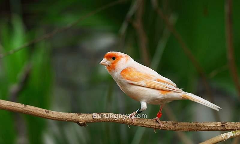 Jenis Burung Kecil Gacor yang Bagus Dipelihara (omlet.co.uk)