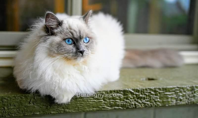 Jenis Kucing Ragdoll dan Fakta Kucing Ragdoll (unsplash.com)