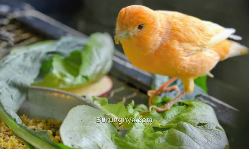 Makanan Burung Kenari Sayur (themarthablog.com)